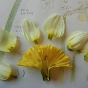 【植物観察】ラッパスイセン