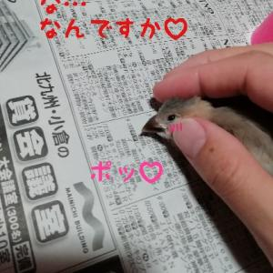 桜文鳥のヒナ、照れる。