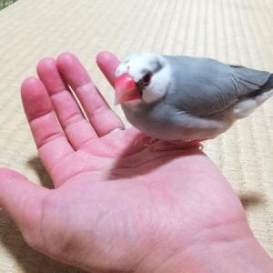 文鳥はかわいい!
