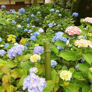【2020紫陽花祭り】藤森神社【鶴丸】