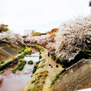 山崎川で花見散歩と「諏訪屋」蕎麦ランチ