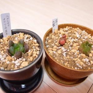 新たに3種のハオルチアを迎え、植えてみました