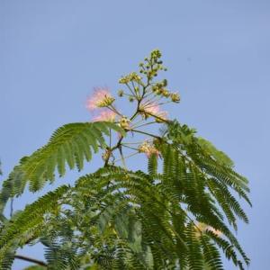 ねむのき~合歓木
