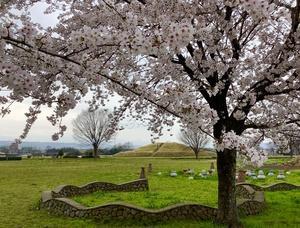 満開の桜と「はにわの里公園」