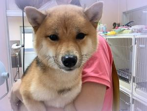 日本人が大好きな「柴犬」。