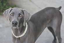「灰色の幽霊」と言う異名を持つ犬
