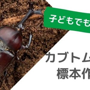 子どもの昆虫標本!初心者でもできるカブトムシ・クワガタの標本作りのやり方