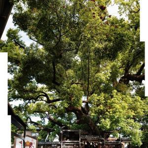 【三島神社】天然記念物の巨樹 薫蓋クスが見つめた一千年【山王・日吉大社の由緒について】
