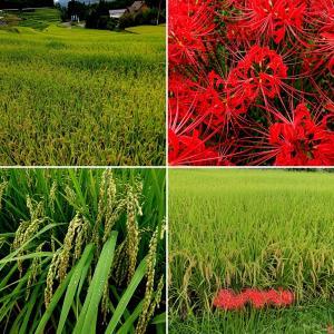米の成る木がおじぎして赤い花火が打ちあがる【稲穂と彼岸花(曼珠沙華)】