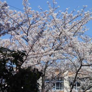 2020年 徘徊 4月5日 「 桜! 満開です!(その1)」