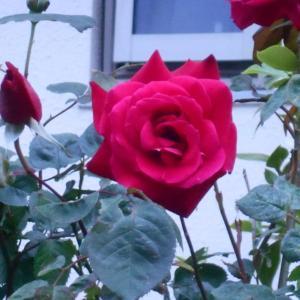 2020年 徘徊 5月30日 「団地の五月 薔薇」