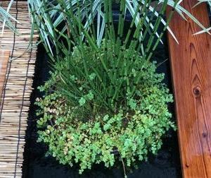 池 の 水上植物 植え替え