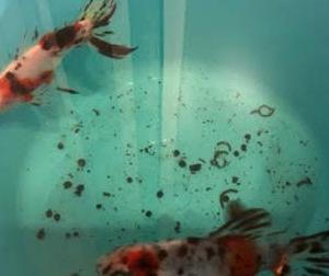 金魚 オーロラ 購入 美しか~