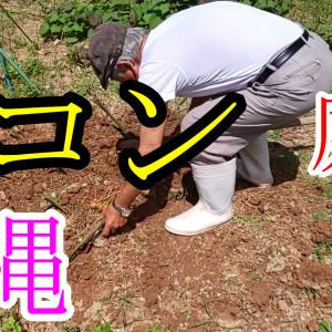 【沖縄】庭にウコンを植えていただきました♪【家庭菜園】