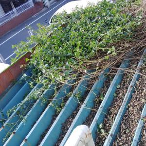 コデマリの剪定~天井の枝と腐葉土を撤去