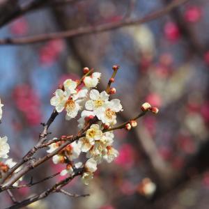 梅の花満開の大谷田公園