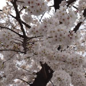 雨が降る前に。桜♪