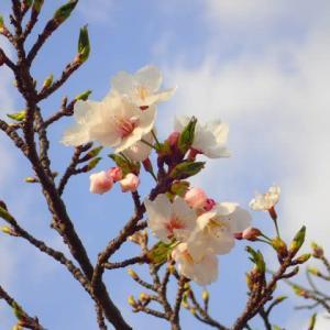 山梨で見られたお花:その2(2021.3/31)