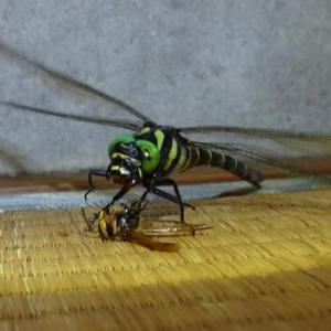 あなたの家にはスズメバチを咥えたオニヤンマいますか?
