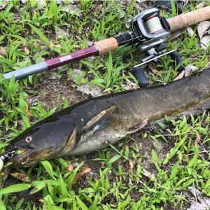 ナマズ釣り ここ最近の釣果報告