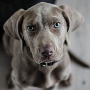 何年も飼育放棄された犬は、犬種が分からないほど毛むくじゃらになっていた。