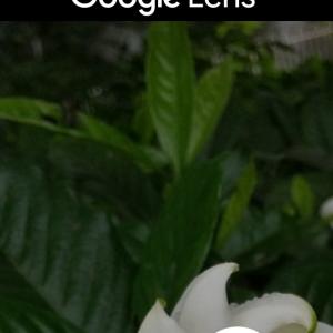 Google Lens(グーグルレンズ)で花の名前を調べる