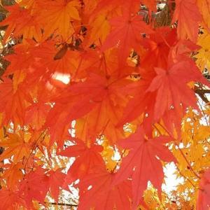 モミジ Japanese Maple Trees @光信寺