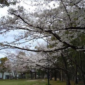 miraiのブログ(さくら満開かな?)