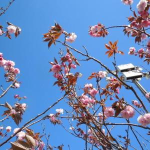 八重桜綺麗です。