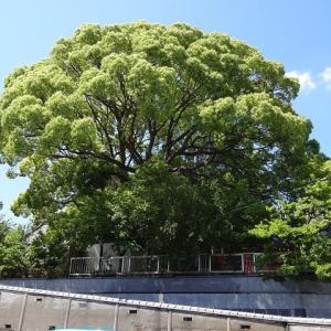寺社の大木