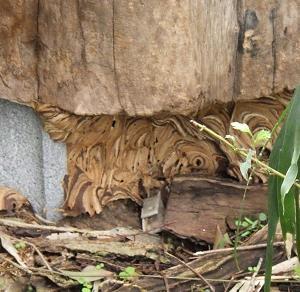 台風後のスズメバチの巣