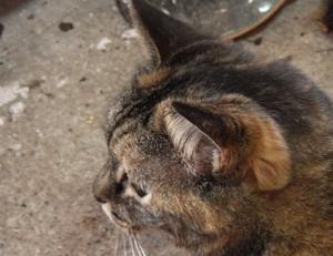 猫は耳が大きいから