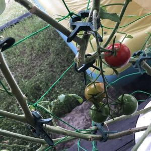 【水耕栽培】ミニトマトを作ってみる⑤