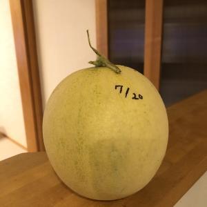 【素人の野菜作り】ホワイトメロン収穫!!