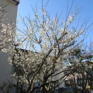 福岡では梅が満開に