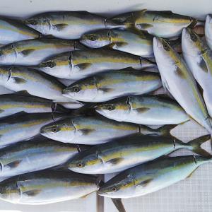 ハマチの数釣りシーズン