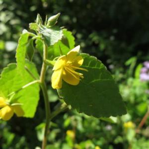 葉の下でうつむくように咲くカラスノゴマ