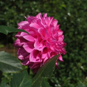 先白の花弁と副弁が特徴のビューティフルデイズ (ダリア・シリーズ05)