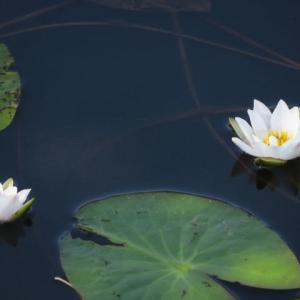 小さな白い花が好ましいヒツジグサ(箱根シリーズ13)