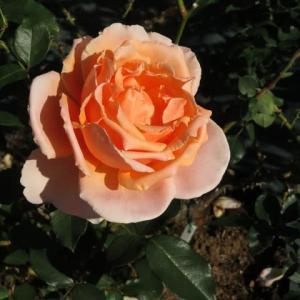 アプリコット色のゴージャスなバラ「ジャスト・ジョーイ」(薔薇シリーズ10)