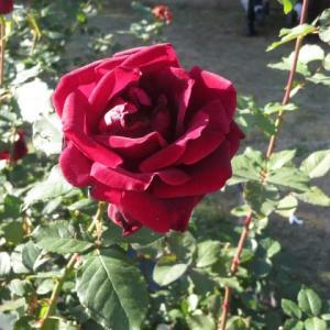 黒バラの代表的な品種パパ・メイヤン(薔薇シリーズ11)