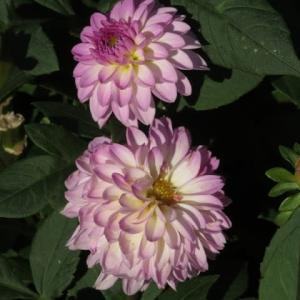 底白の薄紫の花弁がよく目立つダリア「凛」(ダリア・シリーズ25)
