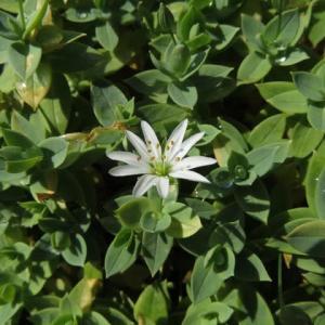白く小さな花が可憐なシコタンハコベ(箱根シリーズ18)