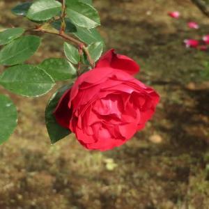 どっしりとしたスプレーバラ「タマンゴ」(薔薇シリーズ15)