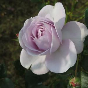 ラヴェンダーブルーの神秘的なバラ「ブルー・バユー」(薔薇シリーズ16)