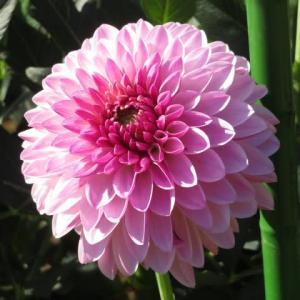 ピンクのグラデーションが美しいダリア「シュシュ」(ダリア・シリーズ30)