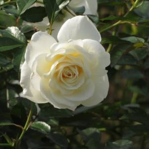 陰影のある美しい白バラ「ファビュラス!」(薔薇シリーズ17)