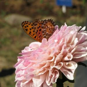 穏やかなピンクの花が特徴のダリア「ティアラ」(ダリア・シリーズ31)
