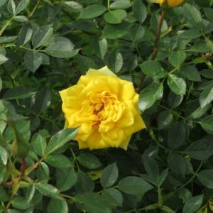 輝くような黄色のバラ「ゾンネキント」(薔薇シリーズ18)