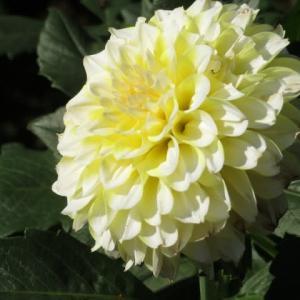 白と黄色の花弁がまじりあうダリア「レモンミルク」(ダリア・シリーズ33)